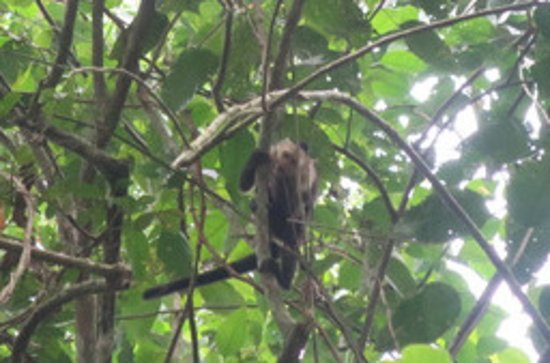Panama Rainforest Discovery Center: Monkey on Pipeline Road