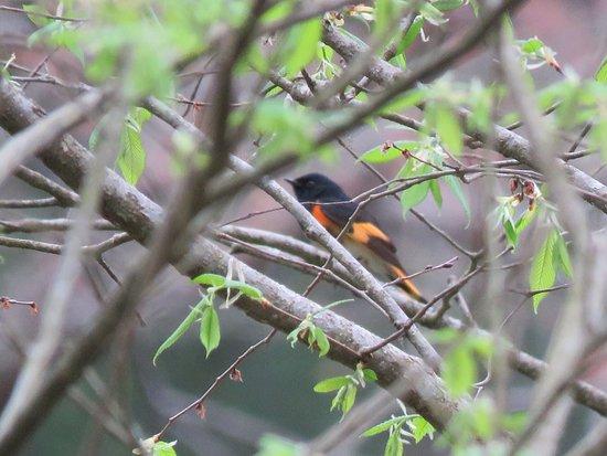 Rockbridge, Οχάιο: American Redstart