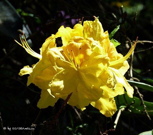Karlsbad, ألمانيا: Rhododendronpark Jansen, Ittersbach