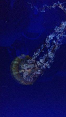 SEA LIFE London Aquarium : jelly fish