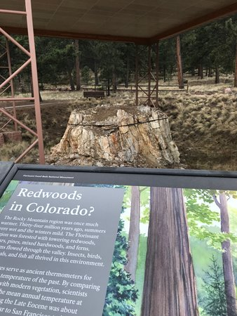 ‪‪Florissant‬, ‪Colorado‬: Huge tree stump with good explanation from the Park District‬