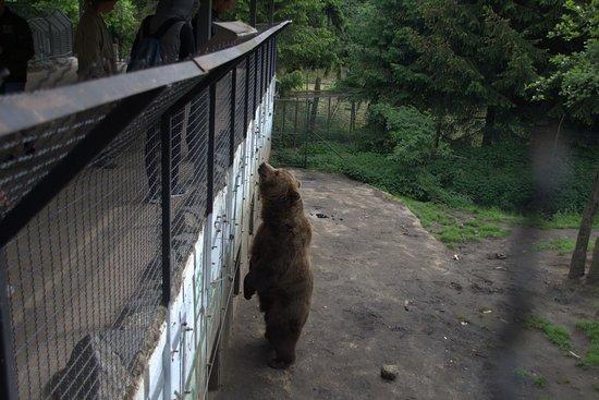 Olmen, بلجيكا: Braunbär in voller Größe