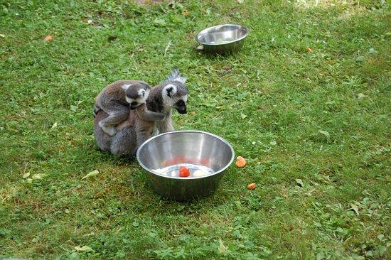 Budapest Zoo & Botanical Garden: Lemur
