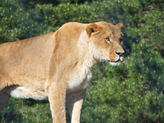 Orana Wildlife Park: So close to the lions!