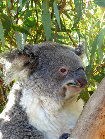 Featherdale Wildlife Park: koala