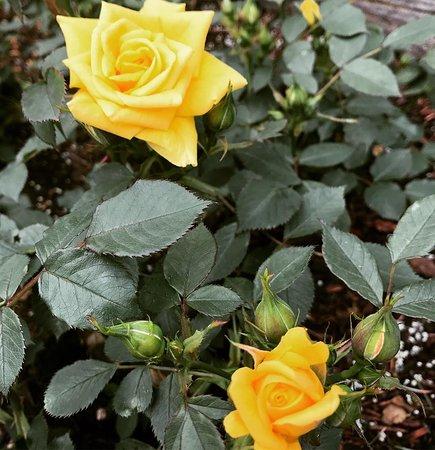 International Rose Test Garden: Early Bloomer