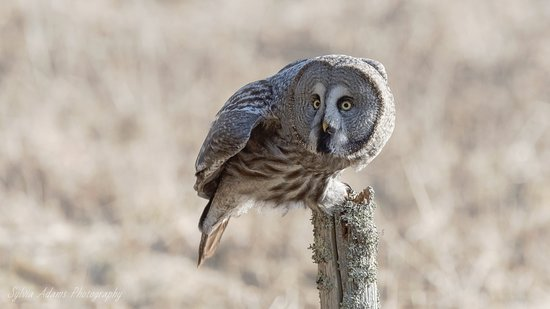 Amazing Nature Scandinavia: Great Grey Owl safari - bookable in April and May