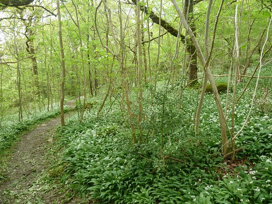 Ulverston, UK: Sea of wild garlic
