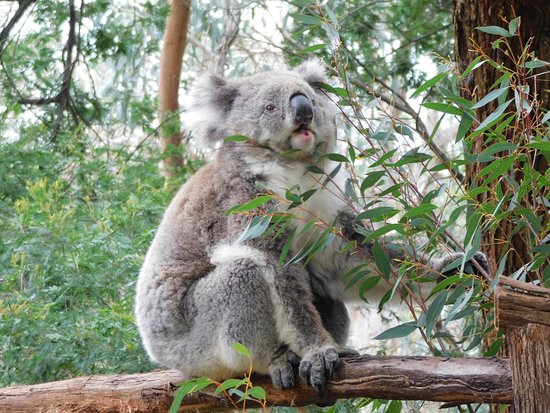 Cowes, أستراليا: Koala Conservation Center