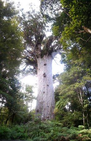 El señor del bosque (Kauri en estado puro, visita desde este hotel)