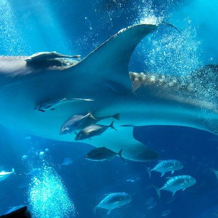 Okinawa Churaumi Aquarium: photo0.jpg