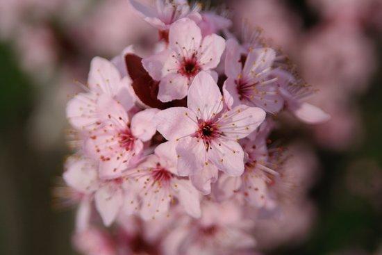 Mancos, โคโลราโด: Apple blossoms