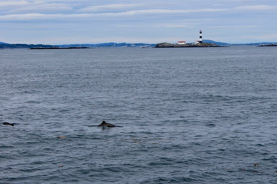 Five Star Whale Watching: Some of the porpoises