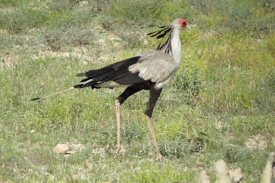 Secretary Bird in Meru National Park