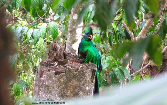 Quetzal Resplandeciente, 14-mayo 2018.visto en Santiago Atitlan.