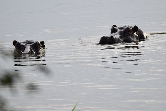 Imbabala Zambezi Safari Lodge: Hippos