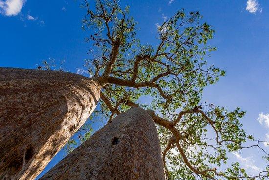 Toliara, Madagascar: I Baobab a Morondava