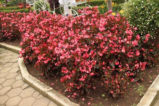 Flowers Picture Of Begonia Garden Lembang Tripadvisor