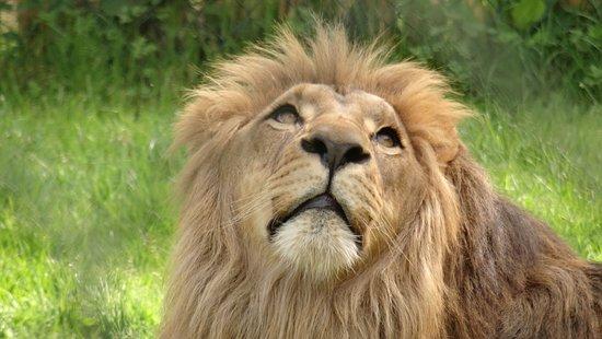 Pleugueneuc, França: Lion