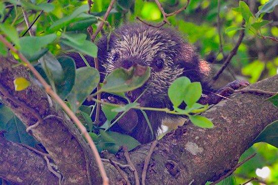GringoTours: Mexican Hairy Dwarf Porcupine
