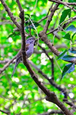 GringoTours: Brown-backed Solitaire