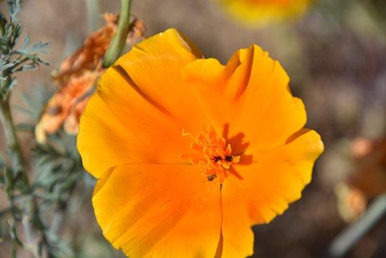Antelope Valley California Poppy Reserve: Great California Poppies at Antelope Valley Poppy Reserve!