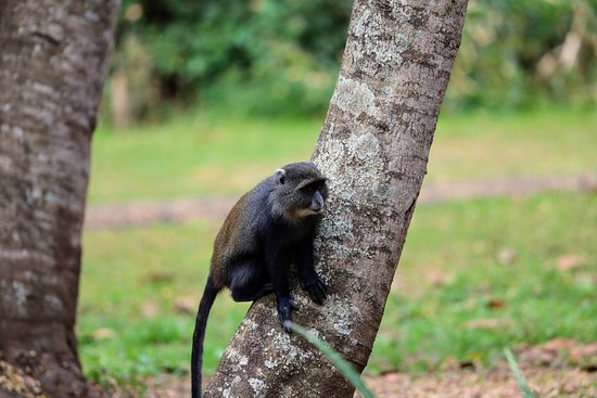 Rivertrees Country Inn: A Blue Monkey seen on the grounds
