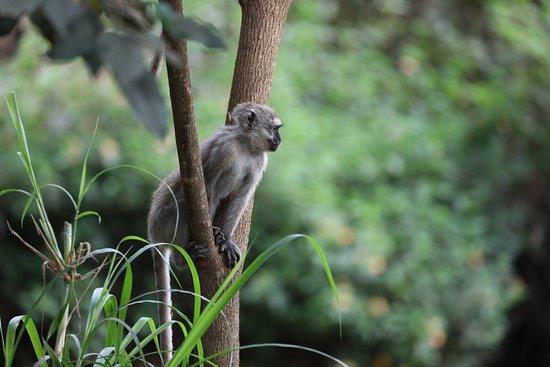 Rivertrees Country Inn: A Velvet monkey seen on the grounds