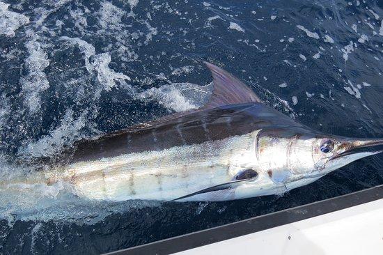 בוקה צ'יקה, פנמה: Black Marlin Hook Up & Release aboard the Dolphin Dancer with Reel Inn in Panama