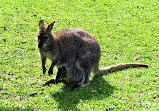 670fad31a02e Maman Kangourou et son bébé - Picture of Le Jardin des Kangourous ...