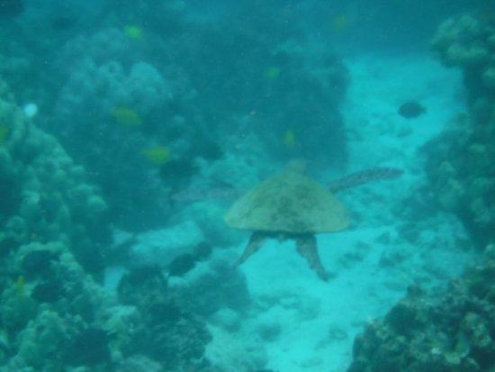 Two Step Beach Honaunau Bay Green Sea Turtle