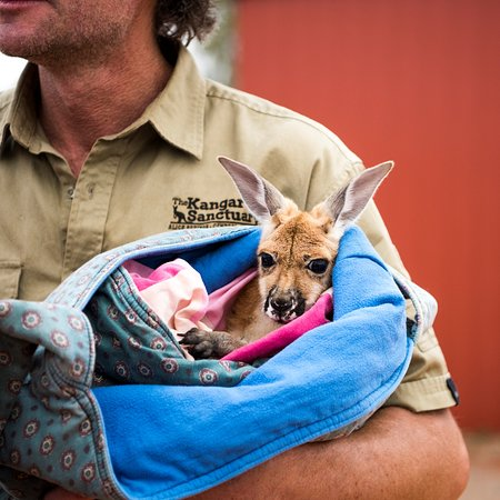 Alice Springs, Avustralya: Orphan baby kangaroo Charlotte being cuddled by Brolga in her pillowcase pouch