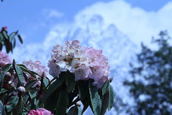 Langtang National Park, Nepál: Beautiful Rododendran( Laligurash ) which is national flower of Nepal , background  Mt langtang2