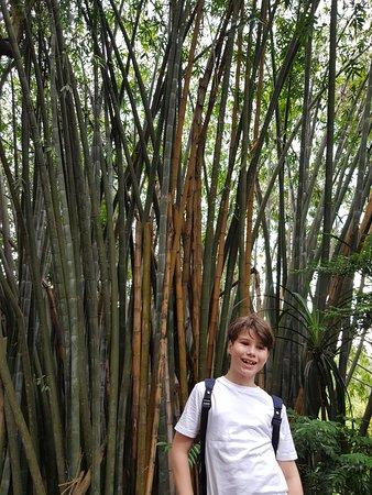 Royal Botanical Gardens: huge bamboo