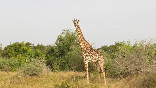 Pangani, تنزانيا: Maasai Giraffe in Saadani National Park