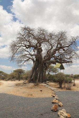 Tarangire National Park, Tanzania: Balboa Tree at park enteance