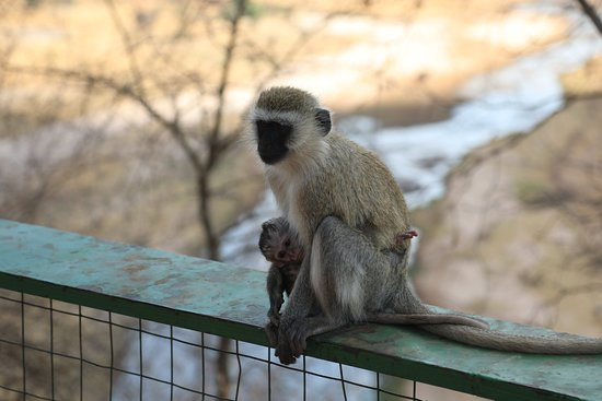 Tarangire National Park, Tanzania: Velvet monkey at picnic area