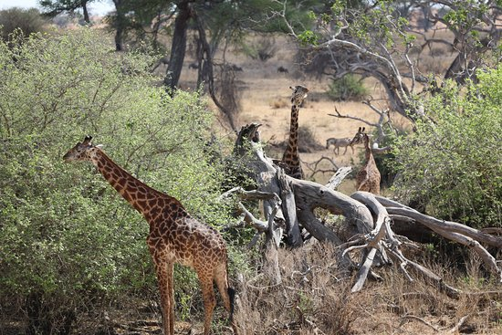 Tarangire National Park, Tanzania: Giraffe