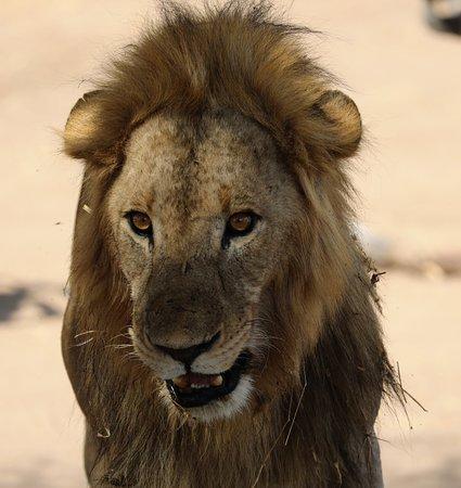 Tarangire National Park, Tanzania: Lion
