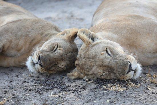 Tarangire National Park, Tanzania: sleeping lions
