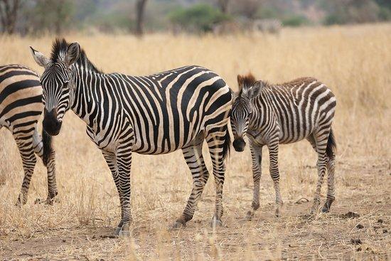 Tarangire National Park, Tanzania: Zebra