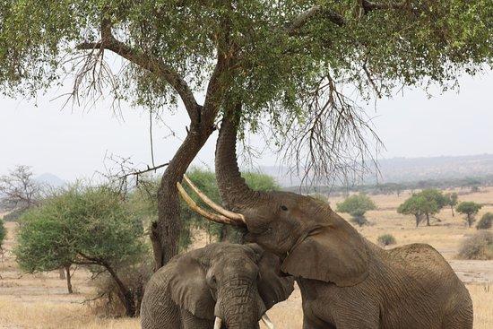 Tarangire National Park, Tanzania: Elephant