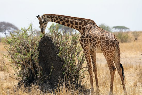 Tarangire National Park, Tanzania: Giraffe and Termite mound