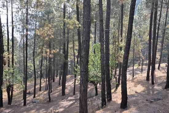 Vijaypur, India: The pine forest.