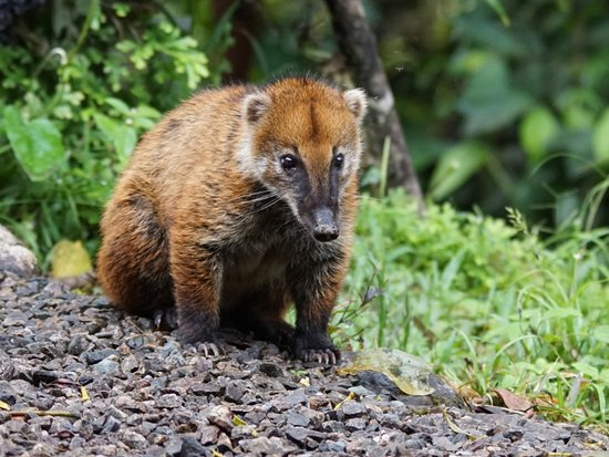Zamora, Ecuador: South American Coati