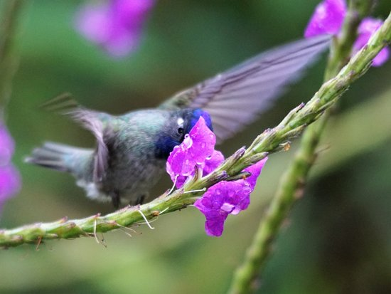 Zamora, Ecuador: Violet-headed Hummingbird