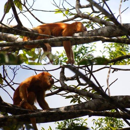 Cano Negro, Costa Rica: Rare orange howler monkey