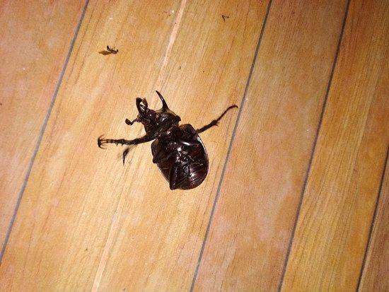 Khaosok Rainforest Resort: Огромный жук на веранде.Живой, только перевёрнутый.