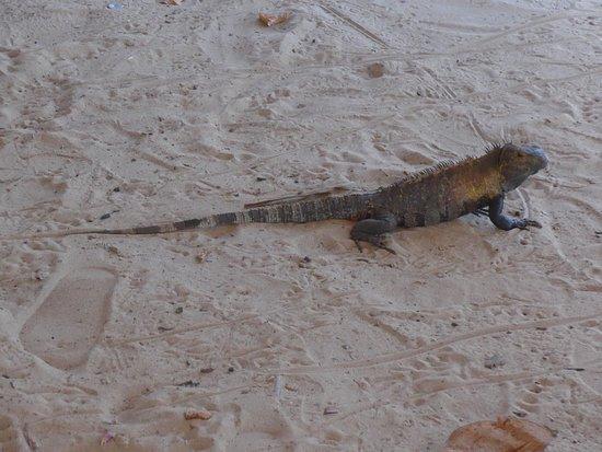 Los Santos Province, Panama: Iguana