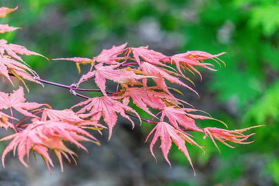 Lauritzen Gardens Omaha's Botanical Center: Japanese Maple